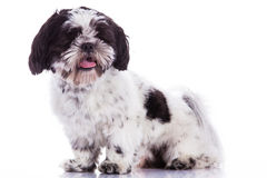Shih tzu on a white background Stock Photos