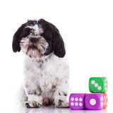 Shih tzu on a white background Royalty Free Stock Photos