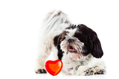 Shih tzu on white background dog and heart. With love postcard concept image for design pet stock photo
