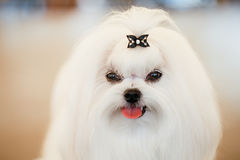 Shih Tzu White Toy Dog. Cute Shih Tzu White Toy Dog Indoors stock images