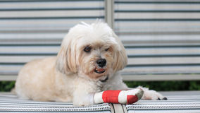 Shih Tzu wrapped by red bandage stock photography