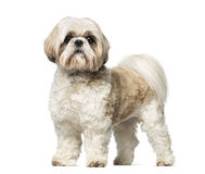 Shih Tzu (3 years old) Stock Photography