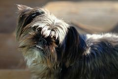 Shih Tzu x Yorkshire dog royalty free stock images