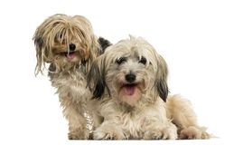 Shih tzu and Yorkshire terrier panting, isolated. On white Stock Photography