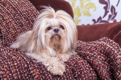 Shih Tzu. Young shih tzu posing on a chair against a damask background royalty free stock photos
