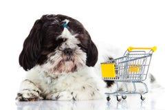 Shih tzu z zakupy trolly odizolowywającym na białym tło psie Obraz Royalty Free