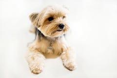 Shih tzuhund som så är gullig i den vita bakgrunden Arkivbild