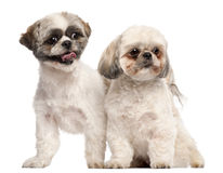 Shih Tzus, 3 years old Royalty Free Stock Images