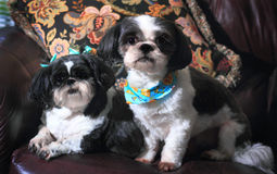 Shih Tzus Royalty Free Stock Photo