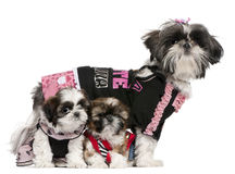 Shih Tzus dressed up Royalty Free Stock Photo