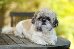 shihtzu σκυλιών Στοκ φωτογραφίες με δικαίωμα ελεύθερης χρήσης