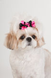 ShihTzu Stock Photography