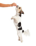 ShihTzu Crossbreed Begging For Treat Stock Images