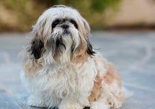 Shihtzu dog Stock Photo