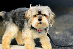 Shihtzu dog, Florida Stock Images