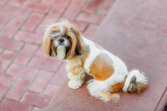 Shihtzu dog Stock Images