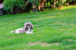 Shihtzu dog Stock Photos