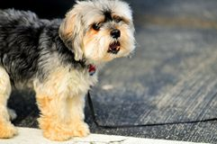 Shihtzu dog in parking lot, Florida Royalty Free Stock Images