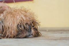 Shihtzu för lurvig hund arkivbild