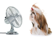 Shihtzu and fan. Purebred shihtzu and fan in front of white background royalty free stock photography