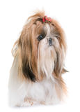 Shihtzu no estúdio Foto de Stock Royalty Free