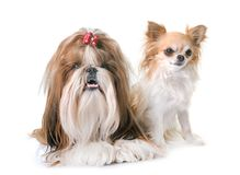 Shihtzu och chihuahua Royaltyfri Fotografi