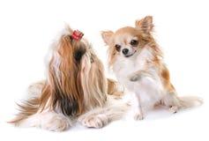 Shihtzu och chihuahua Royaltyfri Bild