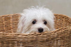 Shihtzu puppy breed tiny dog Stock Images