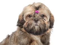 Shihtzu puppy portrait Stock Images