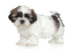 ShihTzu puppy portrait Stock Photo
