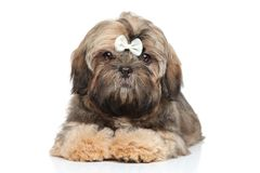 Shihtzu puppy portrait on a white background Stock Photography