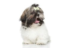 ShihTzu puppy yawn Royalty Free Stock Photography