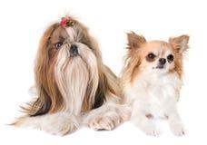 Shihtzu und Chihuahua lizenzfreies stockfoto