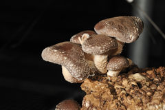 The Shiitake. (Lentinula edodes) is an edible mushroom native to East Asia, which is cultivated and consumed in many Asian countries, as well as being dried and Stock Image
