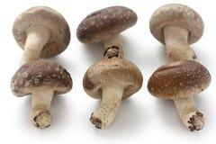 Shiitake, champignons de couche japonais Image libre de droits