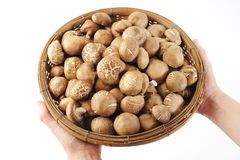 Shiitake in hand Royalty Free Stock Images