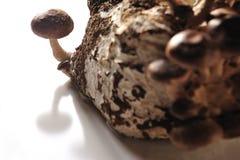 The Shiitake.Mushroom Stock Images