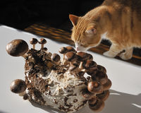 Shiitake mushroom and the cat. Royalty Free Stock Images