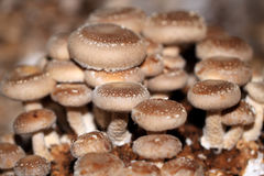 Shiitake mushroom grow together in groups Royalty Free Stock Photography