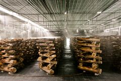 Free Shiitake Mushroom Growing In Wooden Logs Royalty Free Stock Images - 213539649