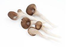 Shiitake mushroom on the White background. 。 Royalty Free Stock Photos