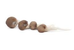 Shiitake mushroom on the White background. 。 Royalty Free Stock Photography