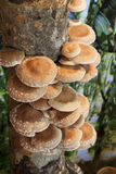Shiitake mushrooms. Growing shiitake mushrooms on maple log in farm royalty free stock photography