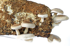 Shiitake mushrooms. Shiitake mushroom culture on substrate Lentinula edodes Royalty Free Stock Photography