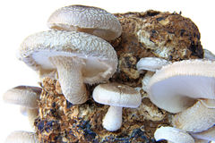 Shiitake mushrooms. Shiitake mushroom culture on substrate Lentinula edodes Royalty Free Stock Images