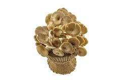 Shiitake pieczarka, Lentinus edodes (Berk ) (Lentinula edodes (Berk , Czarny Mushroo Zdjęcia Stock