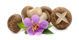 Shiitake-Pilze auf dem wei?en Hintergrund Landwirtschaft, S?gezahn stockfotografie