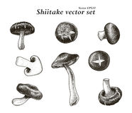 Shiitake vector set hand drawing. Vintage clip art isolated on white background Stock Image