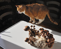 Shiitakechampinjon och katten. Arkivbilder