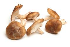 Shiitakepaddestoelen op Wit worden geïsoleerd dat Stock Fotografie